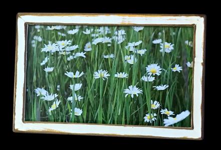Daisies (4) - Click Image